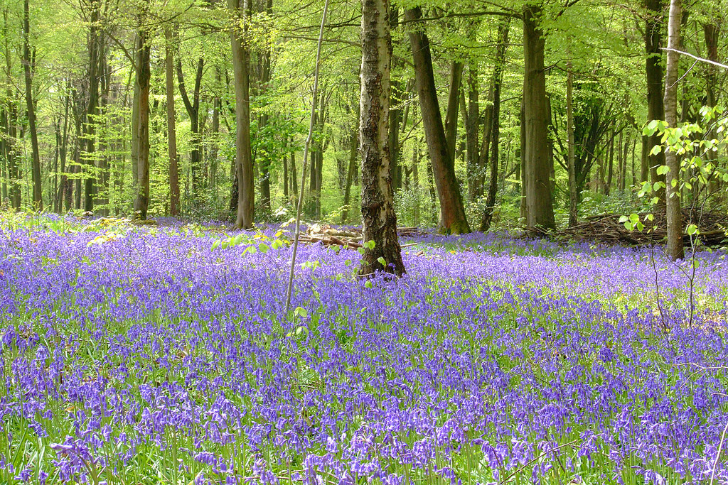 The best bluebell woods in Hampshire