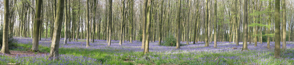Panoramic-Bluebells-Micheldever-Charles-D-P-Miller
