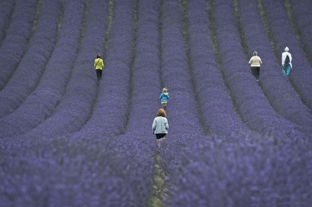 Where to see lavender fields in and around Hampshire