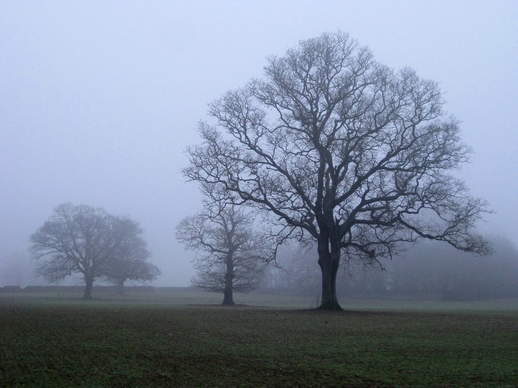 Oak trees in fog in winter