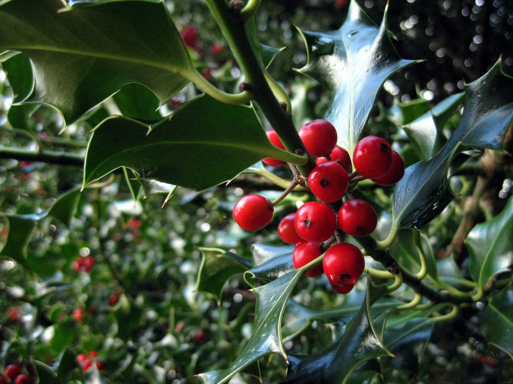 Holly and red berries