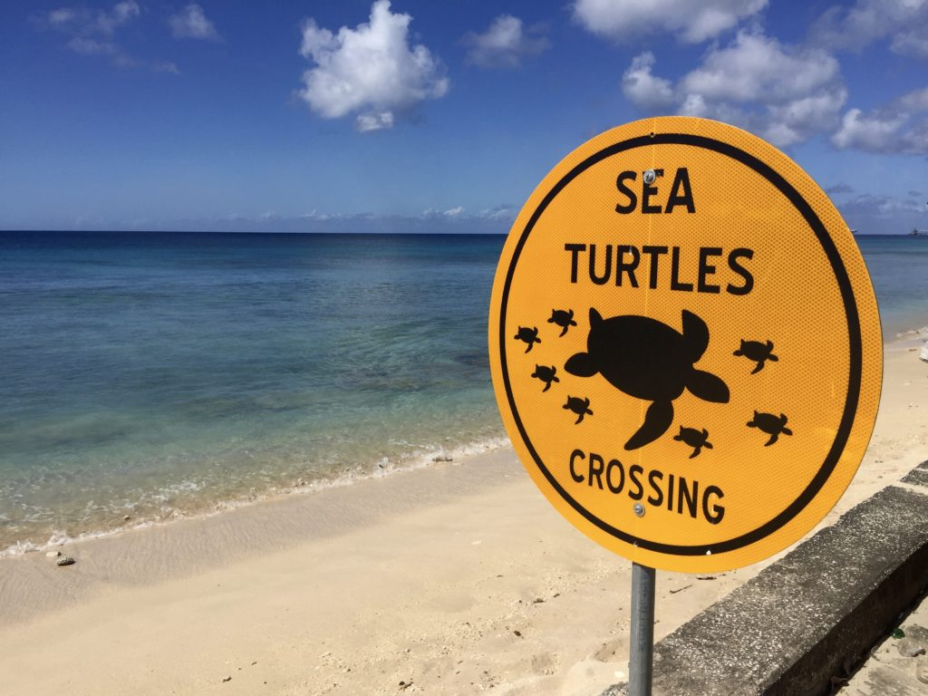 Sea turtle crossing Barbados